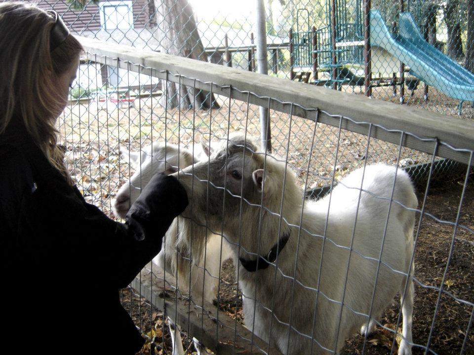 Maplewood Farm Feeding Goats