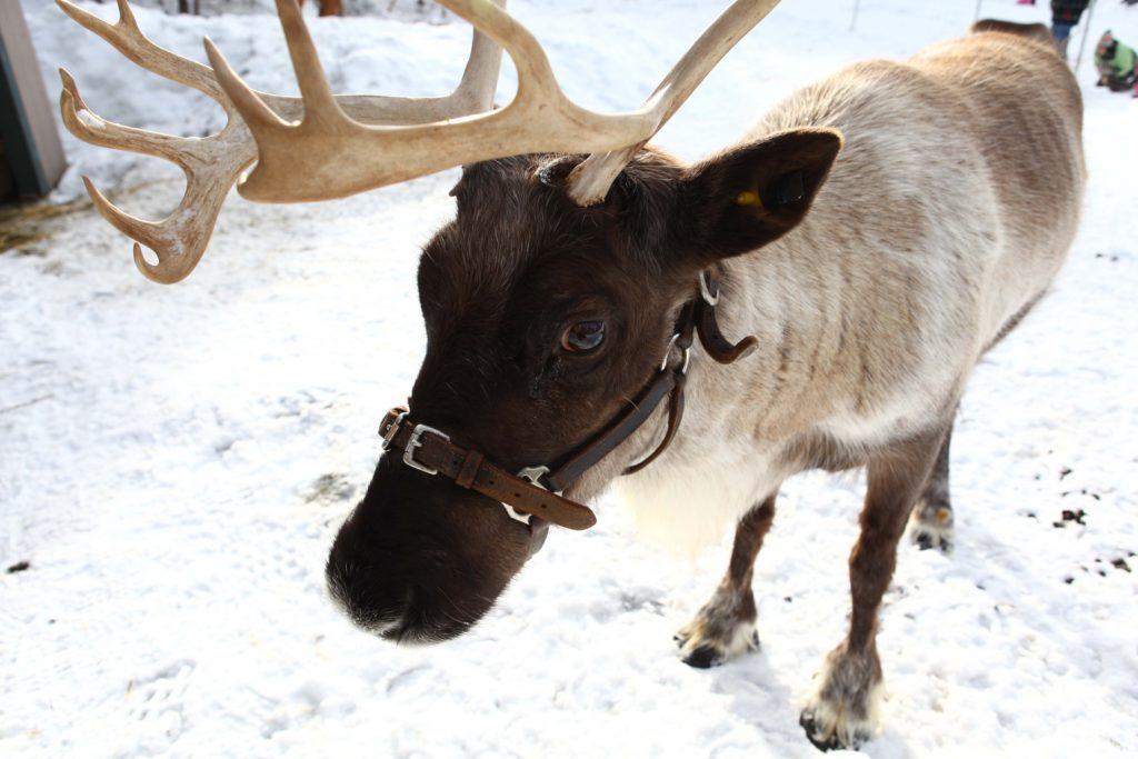peak of christmas grouse mountain reindeer